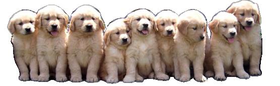 Breezyknoll Kennels Golden Retrievers